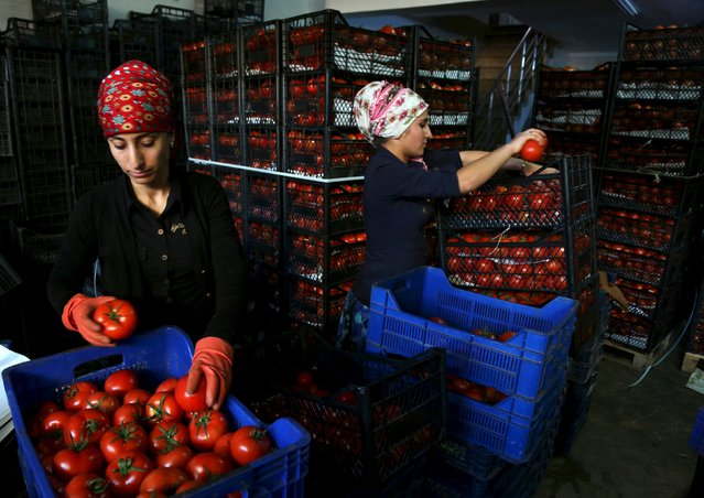 Workers pack tomatoes at a wholesale market in the Mediterranean resort city of Antalya, Turkey, November 30, 2015. (Photo by Kaan Soyturk/Reuters)