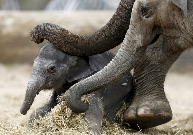 A newborn Asian elephant is helped by his mother Farina (R) to stand up at Pairi Daiza wildlife park, a zoo and botanical garden in Brugelette, Belgium, May 25, 2015. (Photo by Francois Lenoir/Reuters)