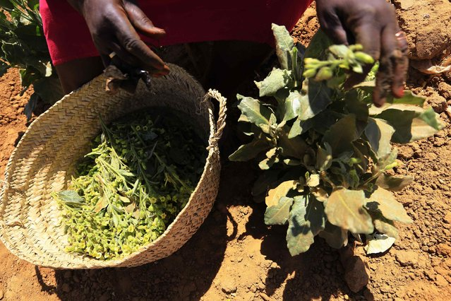 A woman harvests tobacco at a farm in Abu Shoak IDP camp for Internally Displaced Persons (IDP) in el-Fasher, February 5, 2015. (Photo by Mohamed Nureldin Abdallah/Reuters)