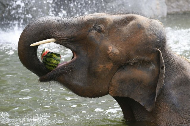 An Asian elephant eats a watermelon on a hot day at the Everland amusement park in Yongin, on August 11, 2013. (Photo by /Lee Jae-Won/Reuters)