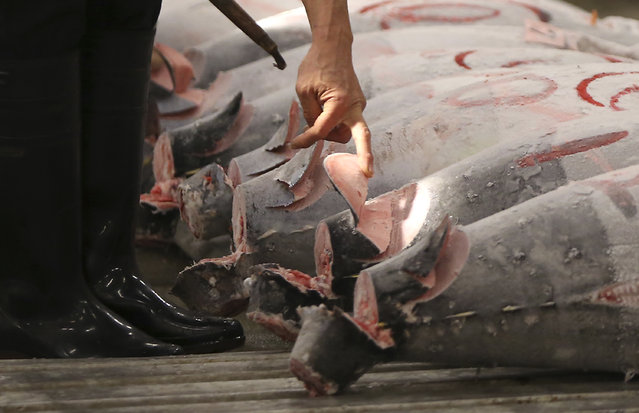 A prospective buyer inspects the quality of frozen tuna before the first auction of the year at Tsukiji fish market  in Tokyo, Tuesday, January 5, 2016. It's among the biggest of Japan's many New Year holiday rituals: Early on Tuesday, a huge, glistening tuna was auctioned for about 14 million Japanese yen ($118,000) at Tokyo's 80-year-old Tsukiji market. Next year, if all goes as planned, the tradition won't be quite the same. (Photo by Eugene Hoshiko/AP Photo)