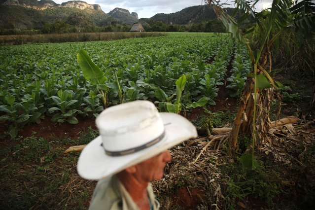 A farmer walks around the tobacco plantation in valley of Vinales, in the western Cuban province of Pinar del Rio, January 27, 2015. (Photo by Pilar Olivares/Reuters)