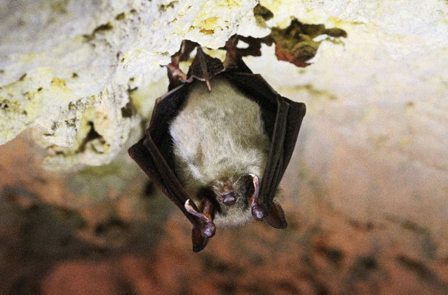 A bat hangs from the roof of a cave in Mikulov, Czech Republic, on March 9, 2015. Up to six hundred bats spend the winter here in the caves. (Photo by Radek Mica/AFP Photo)