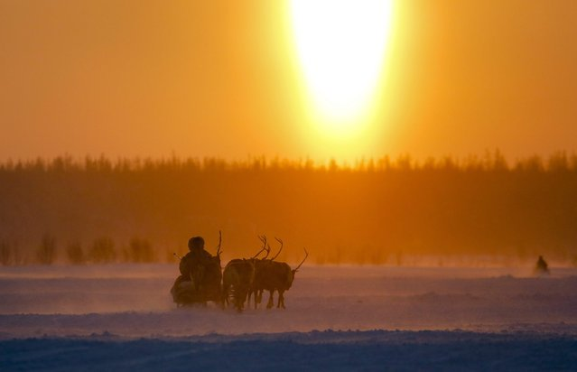 In this photo taken on Sunday, March 15, 2015, a Nenets man rides in a reindeer sled at sunset after the Reindeer Herder's Day in the city of Nadym, in Yamal-Nenets Region, 2500 kilometers (about 1553 miles) northeast of Moscow, Russia. Some participants at the Reindeer Herder's Day travel hundreds of kilometers across the frozen tundra to attend the competition in the region in northern Siberia, more than half of the territory of which lies above the Arctic Circle. (Photo by Dmitry Lovetsky/AP Photo)