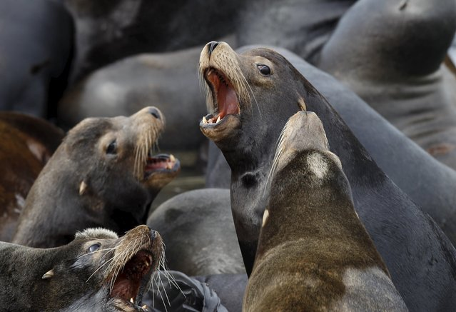 Sea lions lay on marina docks in Astoria, Oregon March 29, 2015. More than 2,300 California sea lions have taken over the docks of the coastal community and are expected to stay until the smelt and salmon runs they feed on are finished in late May, according to officials. (Photo by Steve Dipaola/Reuters)
