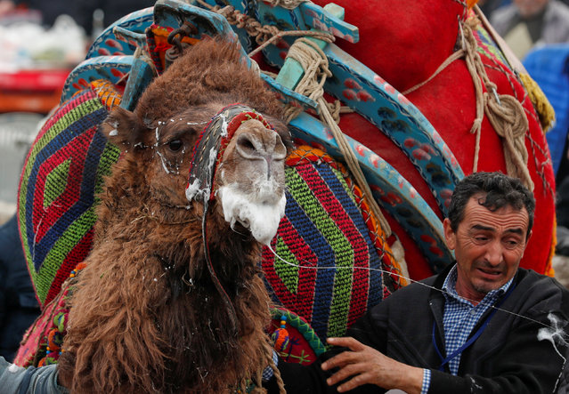 A wrestling camel leaves the field after his fight at the Pamucak arena during the annual Selcuk-Efes Camel Wrestling Festival in the Aegean town of Selcuk, near Izmir, Turkey, January 20, 2019. (Photo by Murad Sezer/Reuters)