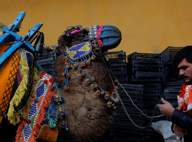 "Wrestling camel ""Faytoncu"" adorned with colourful ornaments is escorted by his groom as he waits for the Camel Beauty Contest ahead of the annual Selcuk-Efes Camel Wrestling Festival in the Aegean town of Selcuk, near Izmir, Turkey, January 14, 2017. (Photo by Murad Sezer/Reuters)"
