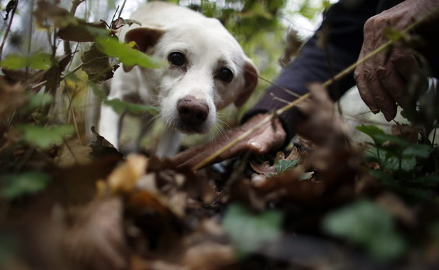 Truffle hunter Ezio Costa, 66, search for truffles with his dog Jolly in a wood in Monchiero near Alba northwestern Italy November 9, 2013. (Photo by Stefano Rellandini/Reuters)