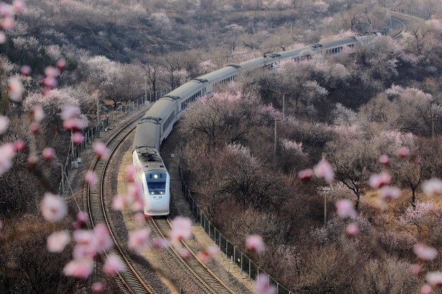 A high-speed bullet train passes through peach blossoms near Juyonguan of the Great Wall in Changping district, Beijing, China on March 18. 2019. (Photo by Ding Bangxue/Qianlong.com via Reuters)