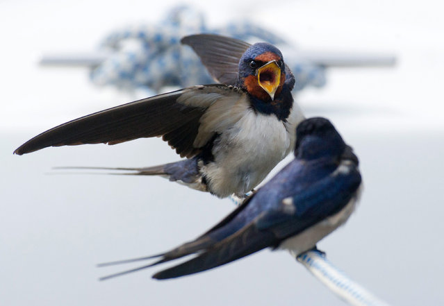Chimney swallows (Latin name: Hirundo rustica) sit on a docking line of a vessel at the harbour of Barhoeft, Germany, 28 April 2015. (Photo by Stefan Sauer/EPA)