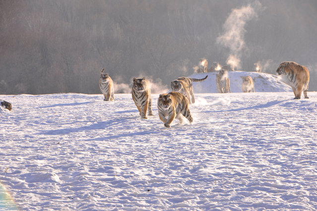 Siberian tigers chase prey at a Siberian tigers breeding base in Mudanjiang, Heilongjiang province, China, January 31, 2017. (Photo by Reuters/Stringer)