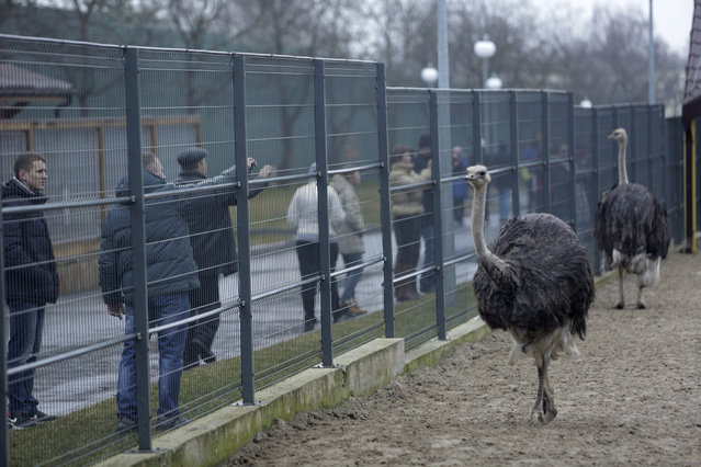 Anti-government protesters and journalists look at ostriches kept within an enclosure on the grounds of the Mezhyhirya residence of Ukraine's President Viktor Yanukovich in the village Novi Petrivtsi, outside Kiev February 22, 2014. (Photo by Konstantin Chernichkin/Reuters)