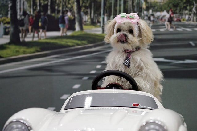 """A dog sits on a miniature car for photographs at the """"Interpets"""" international pet fair in Tokyo, Japan, 31 March 2016. Some 350 exhibitors are presenting their products to business visitors and pet lovers until 03 April at the event, which is the largest international trade fair in the Japanese pet market. (Photo by Franck Robichon/EPA)"""