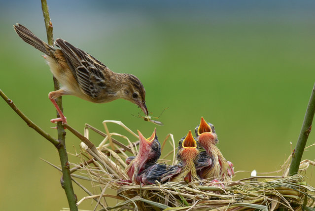 Parent Zitting Cisticola seen feeding the newborns on March 07, 2017 in West Sumatra, Indonesia. (Photo by Riau Images/Barcroft Images)