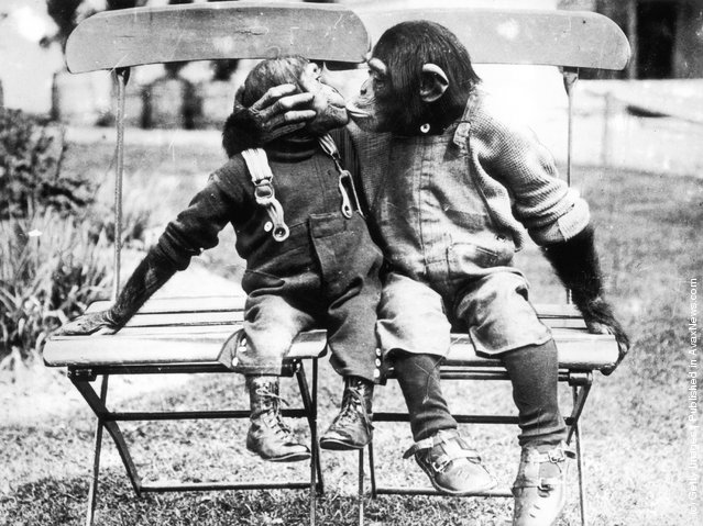 circa 1930:  Fully dressed chimpanzees sit on chairs and kiss