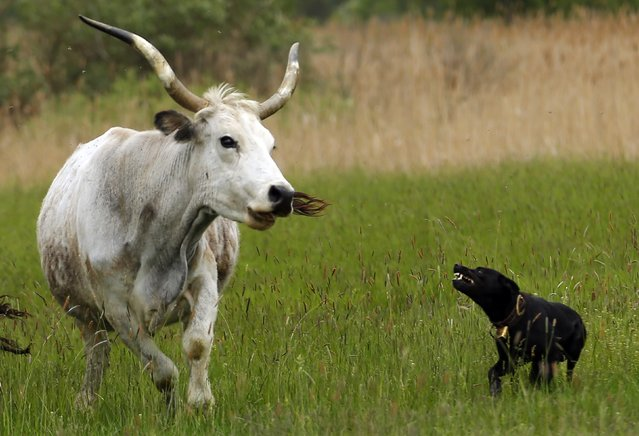 A shepherd dog directs a Hungarian Grey bull during the celebration of the start of the new grazing season at the Great Hungarian Plain in Hortobagy, east of Budapest, on April 26, 2014. (Photo by Laszlo Balogh/Reuters)