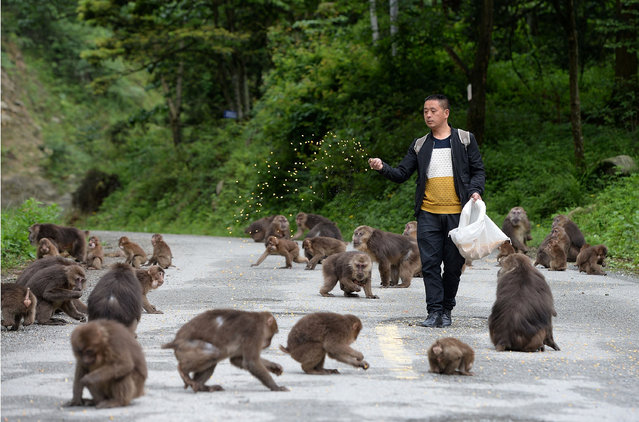 A man feeds monkeys at Longchi scenic area, in Dujiangyan, Sichuan province, China May 24, 2017. (Photo by Reuters/Stringer)