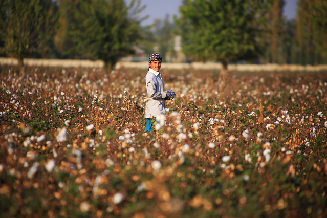 A Uzbekistan's cotton grower looks on as she works in a cotton plantations outside Tashkent, on October 24, 2019. A small revolution is taking shape in Uzbekistan: the State wants to eradicate forced labour in its cotton industry, after having, for decades, forced hundreds of thousands of Uzbeks to work during the harvest. (Photo by Yuriy Korsuntsev/AFP Photo)