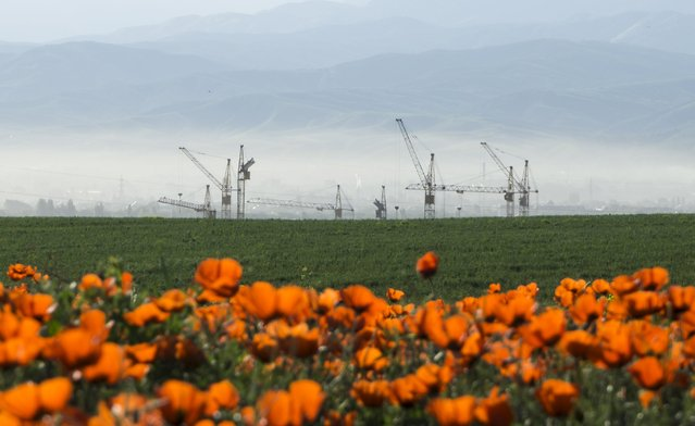 Construction cranes are seen behind a blossoming poppy field at outskirts of Almaty, Kazakhstan, May 14, 2015. (Photo by Shamil Zhumatov/Reuters)