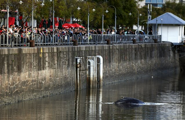A stranded humpback whale surfaces at the docks of Puerto Madero neighbourhood as people watch in Buenos Aires, Argentina, August 3, 2015. (Photo by Marcos Brindicci/Reuters)