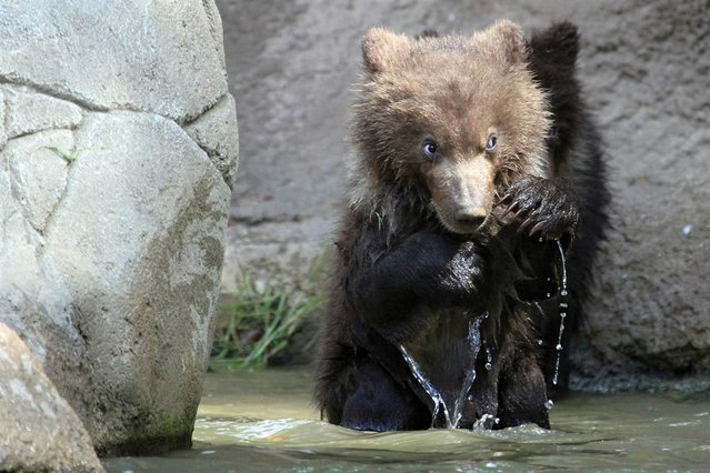 Kamchatka bear twins named Cuba and Toby play at the Brno Zoo in the Czech Republic for the first time on May 31, 2012