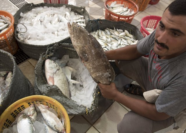 An Egyptian fisherman working in Kuwait, shows his catch just ahead of the daily auction at the Kuwait Fishmarket in Sharq, Kuwait City, August 25, 2015. (Photo by Stephanie McGehee/Reuters)