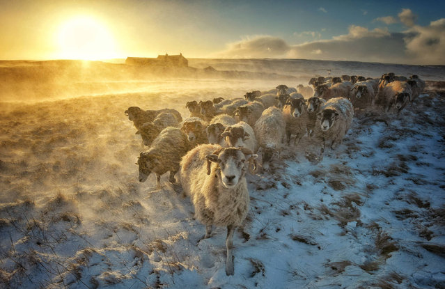 A flock of sheep huddles together while snow spindrift is whipped up by strong winds in Swaledale, North Yorkshire, UK on March 17, 2017. (Photo by Paul Kingston/NNP North News & Pictures Ltd)