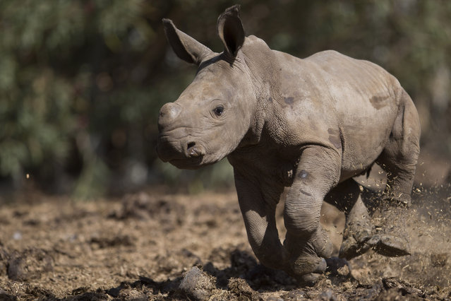 A newly born female White Rhino runs in Ramat Gan Safari Park near Tel Aviv, Israel, Wednesday, September 3, 2014. She was born three weeks ago, after more than twenty years without a female White Rhino birth in the Safari, Sagit Horowitz, the safari spokeswoman said. (Photo by Ariel Schalit/AP Photo)