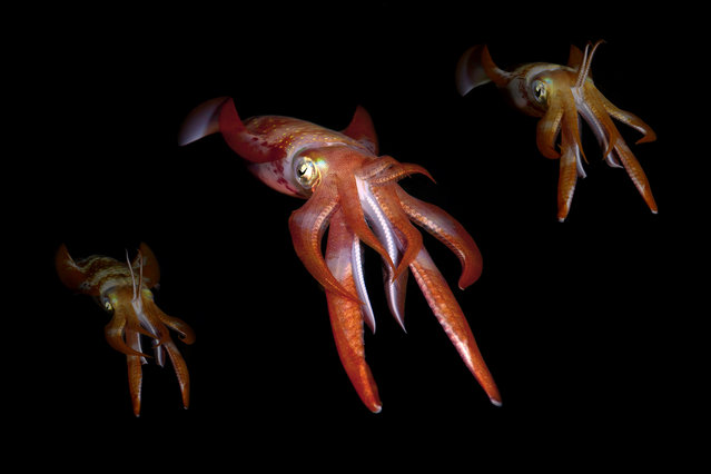 Squid. A squid in the Red Sea. Underwater photographer Andrey Nekrasov, 42, photographed bigfin reef squid in the pitch black Red Sea putting on an extraordinary light show when the sun goes down. (Photo by  Andrey Nekrasov/Medavia/ABACAPress)