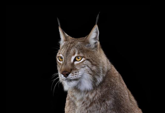 Lynx. (Photo by Brad Wilson/Caters News)