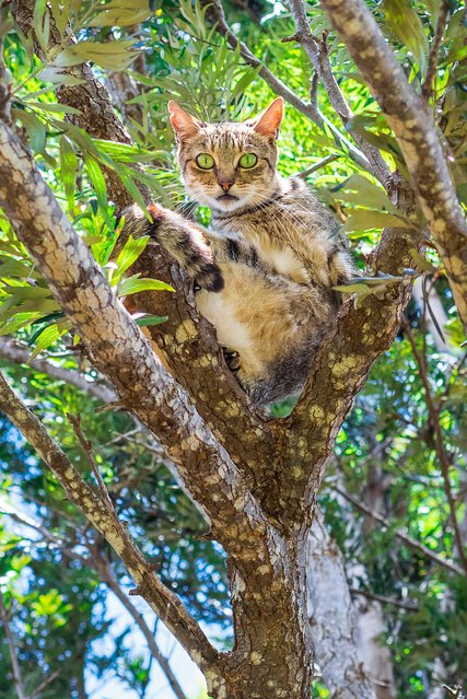 A kitty looks suprised to have its picture taken whilst chilling in a tree at the shade at the Lanai Cat Sanctuary in Hawaii. (Photo by Andrew Marttila/Caters News Agency)