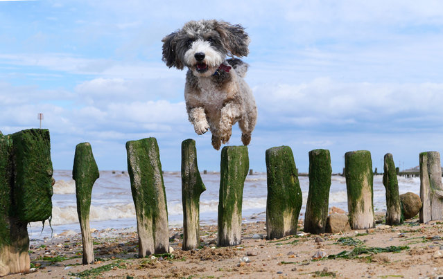 Cookie the cockapoo dog is enjoying herself on the beach by jumping over a sea defence as the sun shines at Heacham, West Norfolk, England on July 14, 2020. (Photo by Paul Marriott/Rex Features/Shutterstock)