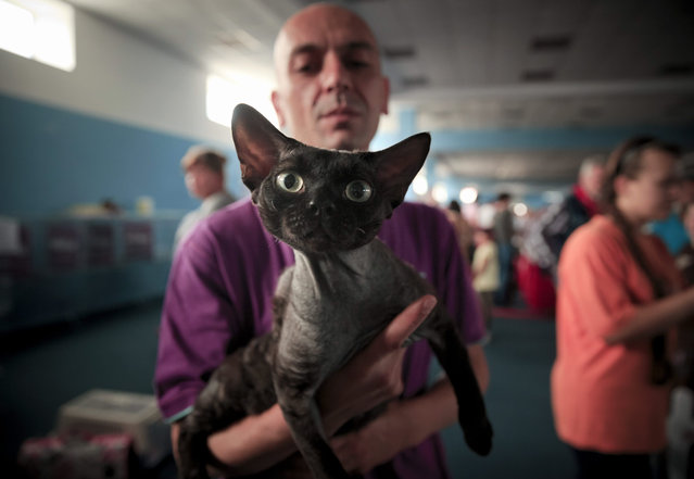 A dark Devon Rex cat is held by its owner during a competition in Bucharest, Romania, Saturday, September 26, 2015. More than 300 cats entered the international feline beauty competition in the Romanian capital. (Photo by Vadim Ghirda/AP Photo)