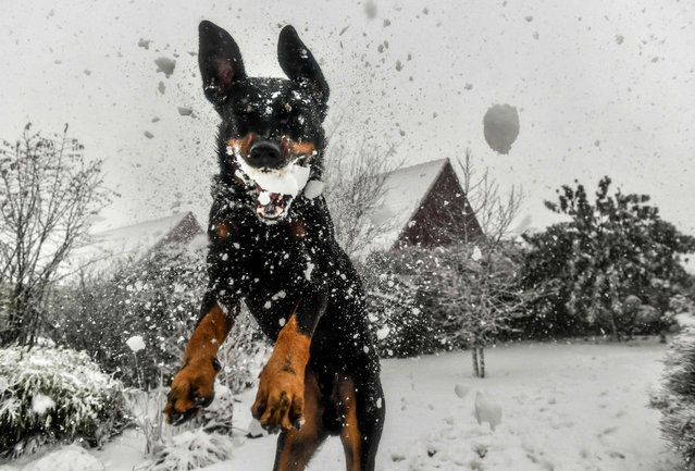 A dog jumps to catch a snowball in Godewaersvelde on December 11, 2017 In France, 32 departments were placed on orange alert with winds of more than 100 kilometres forecast in some areas. In the northern Pas- de- Calais and Nord regions, some 20,000 homes were without electricity due to gale- force winds which affected supply, power provider Enedis said. (Photo by Philippe Huguen/AFP Photo)