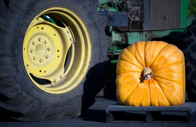 A square pumpkin is seen at the 42nd annual Safeway World Championship Pumpkin Weigh-Off Contest in the World Pumpkin Capital of Half Moon Bay, California on October 12, 2015. The Safeway World Championship Pumpkin Weigh-Off is offering a special $30,000 mega-prize for the world record breaking pumpkin at the prestigious Half Moon Bay event. (Photo by Josh Edelson/AFP Photo)