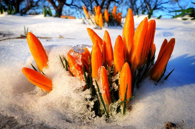 Crocuses poke through the snow in Salina, Kansas, March 11, 2013. (Tom Dorsey/Salina Journal)