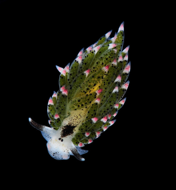Cute sea slug; Singapore Marine. (Arthur Anker)