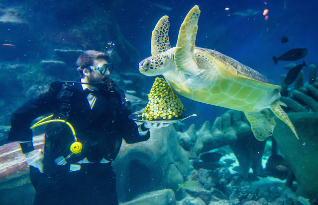 Senior Aquarist Charles-Edouard Fusari feeds a Green Sea Turtle Greedy Boris with sprouts at The Sea Life London Aquarium on December 15, 2014 in London, England. (Photo by Ian Gavan/Getty Images)