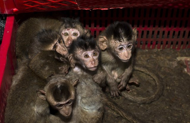 Long-tailed macaque babies are pictured inside a basket as police seized a truck smuggling them from Vietnam to China, in Changsha, Hunan province January 8, 2015. Police arrested 11 people on Thursday trying to smuggle at least 100 long-tailed macaques, which is a second grade protected species in China, local media reported. (Photo by Reuters/Stringer)