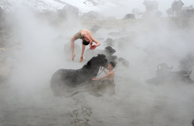 Youth, who do not mind the freezing cold, roll over buffalo and horses and dive into the hot spring water as buffaloes are being cleaned with a thermal water in Bitlis, Turkey on January 31, 2021. In the district of Guroymak in Bitlis, buffalo breeders wash their animals thermal springs periodically, which are unclean in the barns in winter. In the village, where unfavorable weather conditions are effective, the buffaloes that get unclean in the barns because they cannot be taken outside, are washed in the hot spring water for healthier and milk yield. In the region where the temperature drops to minus 20 degrees, buffaloes and horses brought to the hot spring covered with snow are washed in the water where the steam rises. (Photo by Sener Toktas/Anadolu Agency via Getty Images)
