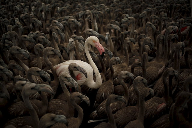 A flamingo and flamingo chicks are seen in a corral before being fitted with identity rings at dawn at a lagoon in the Fuente de Piedra natural reserve, in Fuente de Piedra, near Malaga, southern Spain, August 8, 2015. (Photo by Jon Nazca/Reuters)