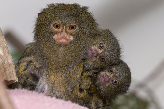 A pint-sized pygmy marmoset steals the limelight as its infants crouch behind, on August 26, 2013. (Photo by ZSSD/Minden/Solent News)