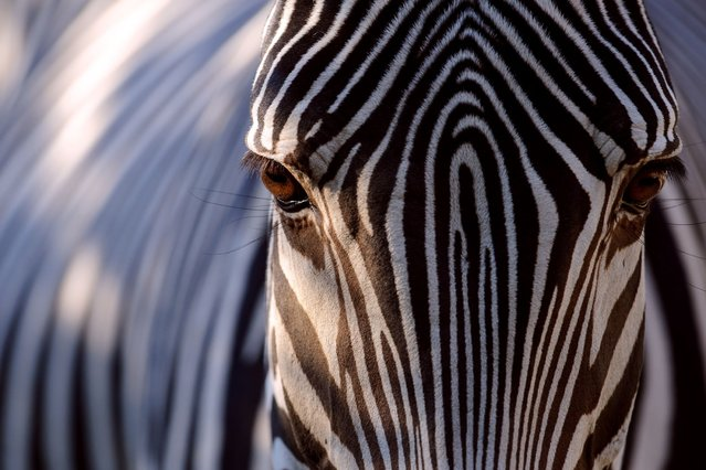 A grevy zebra looks on in its pen at the zoo of Mulhouse, eastern France, on September 23, 2013. (Photo by Sebastien Bozon/Agence France-Presse)