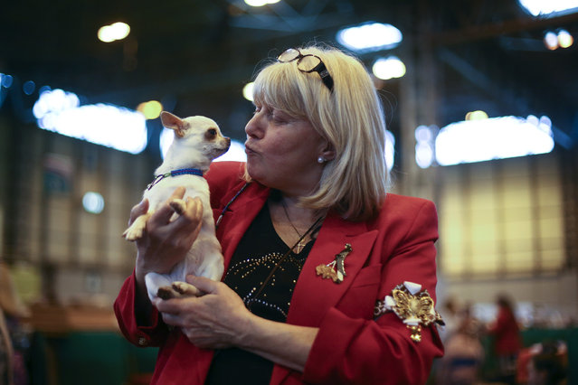 A woman poses for a photograph with her Chihuahua on the fourth and final day of Crufts dog show at the National Exhibition Centre on March 8, 2015 in Birmingham, England.  First held in 1891, Crufts is said to be the largest show of its kind in the world. The annual four-day event, features thousands of dogs, with competitors travelling from countries across the globe to take part and vie for the coveted title of 'Best in Show'. (Carl Court/Getty Images)