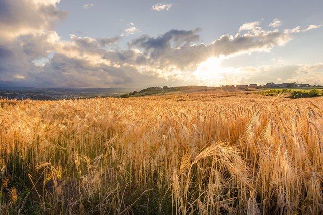 Barley in Huddersfield on July 24, 2016. (Photo by Dave Zdanowicz/Rex Features/Shutterstock)