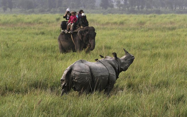 Tourists on an elephant watch a one horned rhinoceros inside the Kaziranga national park, about 250 kilometers (156 miles) east of Gauhati, India, Monday, November 1, 2013. The Kaziranga National Park, which has the world s largest concentration of Indian one-horned rhinoceros, reopened for tourists Monday. (Photo by Anupam Nath/AP Photo)