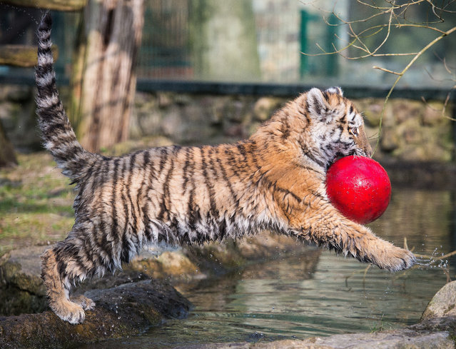 A baby tiger Dragan plays on March 10, 2015 in its enclosure at Eberswalde's zoo. (Photo by Patrick Pleul/AFP Photo/DPA)