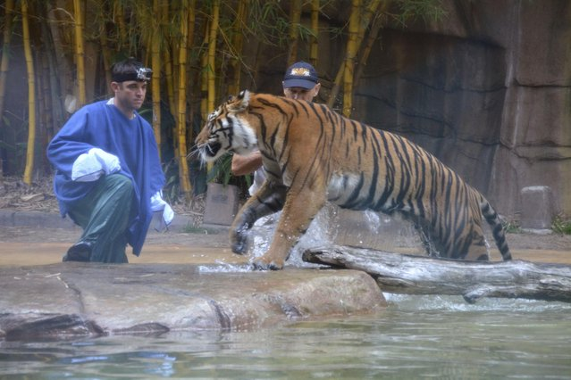 In this photo taken Tuesday, Nov. 26, 2013 and made available Thursday, November 28, a Sumatran tiger approaches to Australia Zoo handler Dave Styles, left, before leaping on him in an enclosure at the zoo in Sunshine Coast, Australia. Styles who suffered puncture wounds to his head and shoulder was rescued by fellow workers at the zoo. He is recovering following surgery after being airlifted to a hospital. (Photo by Johanna Schehl/AP Photo)