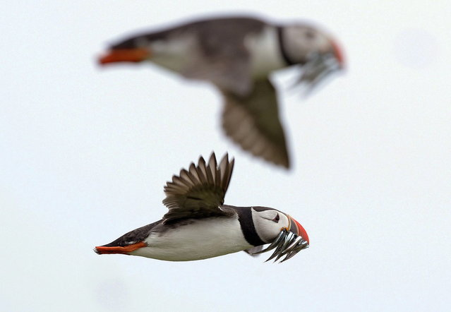 Puffins carry sand eels for their young as they fly above the Farne Islands off the Northumberland coast, northern England July 8, 2013. (Photo by Nigel Roddis/Reuters)