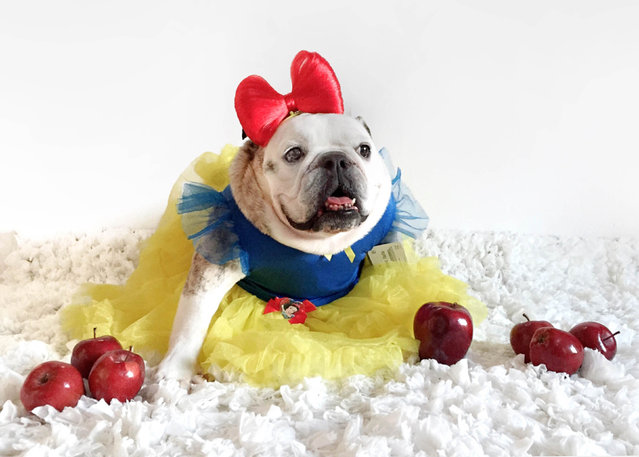 Maya the bulldog as snow white. (Photo by Tania Ahsan/Caters News)